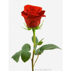 Single Red Beutiful Fresh Rose